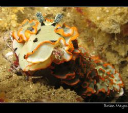 Dermatobranchus ornatus munching on soft coral entwined w... by Brian Mayes